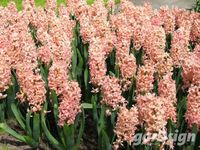 Hyacinth Hyacinthus orientalis 'Gipsy Queen'