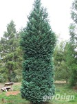 Cypress Chamaecyparis lawsoniana 'Columnaris'