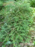 Fir Abies koreana 'Piccolo'