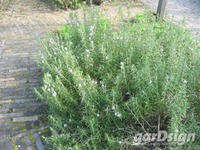 Common Rosemary Rosmarinus officinalis