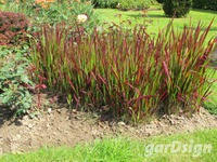 Japans bloedgras Imperata cylindrica 'Red Baron'