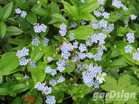 Blue-eyed Mary Omphalodes cappadocica 'Starry Eyes'